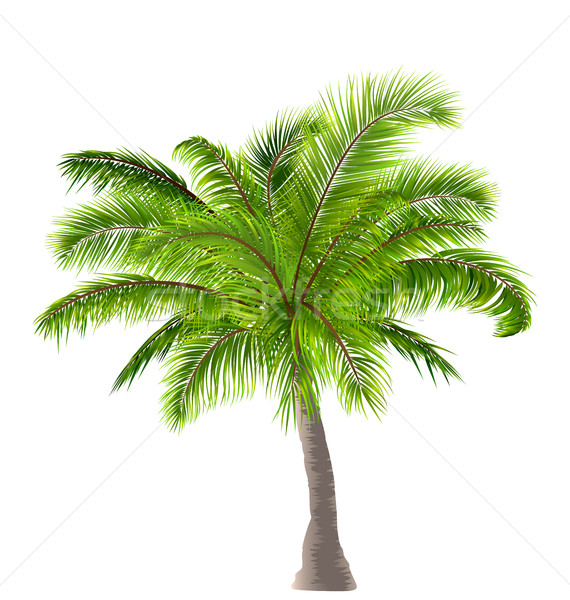 Realistic Palm Tree Isolated on White Background Stock photo © smeagorl