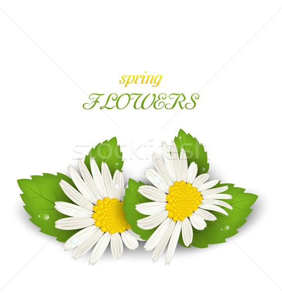 Rumianek kwiaty biały ilustracja wiosennych kwiatów Zdjęcia stock © smeagorl