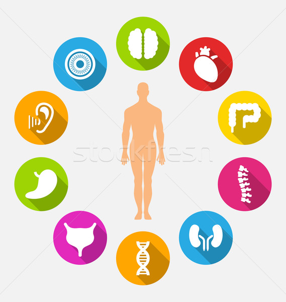 Silhouette of Male and Internal Human Organs Stock photo © smeagorl