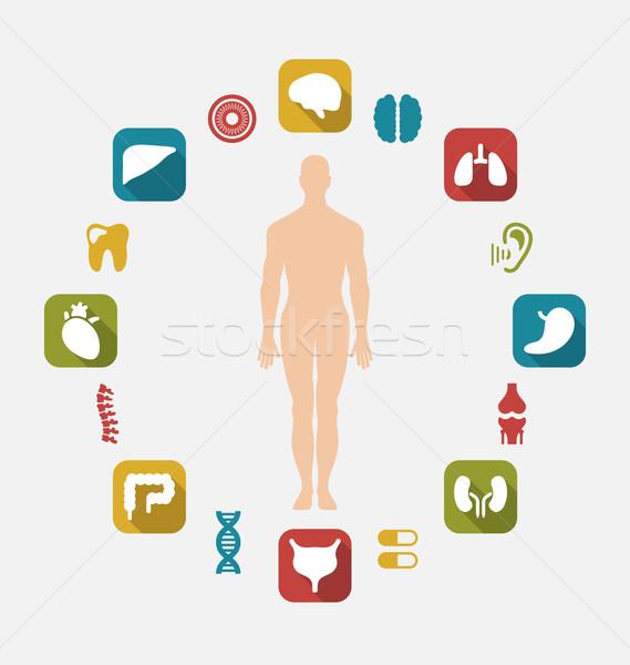 Infografica interno umani organi illustrazione colorato Foto d'archivio © smeagorl