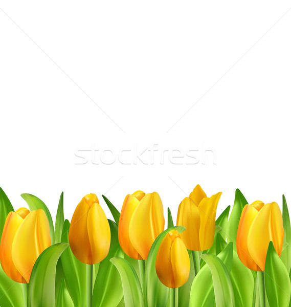 Belle fleurs tulipes isolé illustration blanche Photo stock © smeagorl