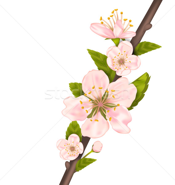 Close Up Cherry Blossom, Branch of Tree Stock photo © smeagorl