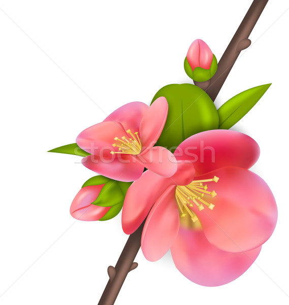 Branch with buds of Japanese Quince (Chaenomeles japonica) in bl Stock photo © smeagorl