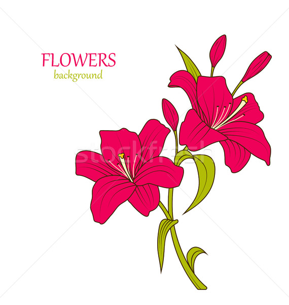 Linear Colored Sketch of Beautiful Lily Flowers Isolated Stock photo © smeagorl