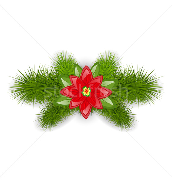 Christmas composition with fir twigs and flower poinsettia, isol Stock photo © smeagorl