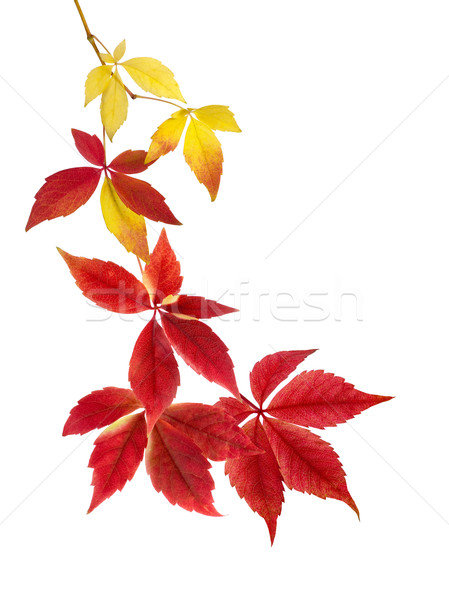 Beautiful arrangement of autumn leaves  Stock photo © Smileus
