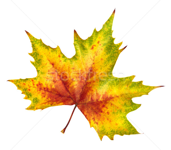 Beautiful autumn leaf, rich in color and detail Stock photo © Smileus
