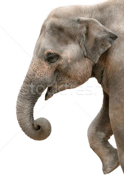 Profil portret szczęśliwy słoń odizolowany Zdjęcia stock © Smileus