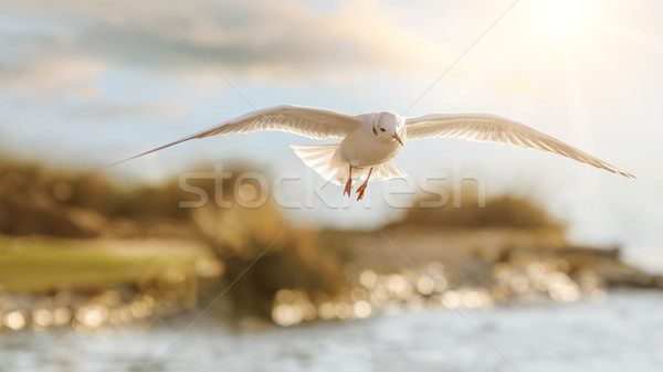 Seagull's flight in beautiful backlight Stock photo © Smileus