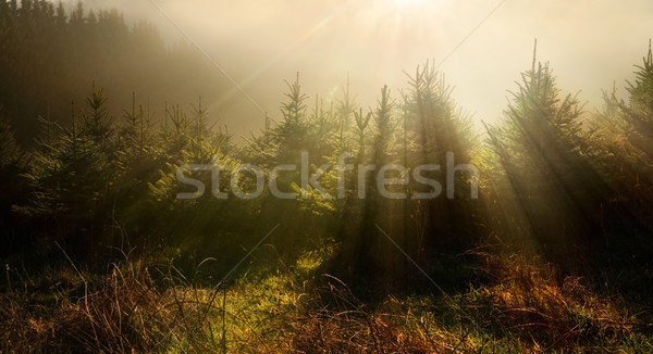 Stock photo: Fir trees in very moody light