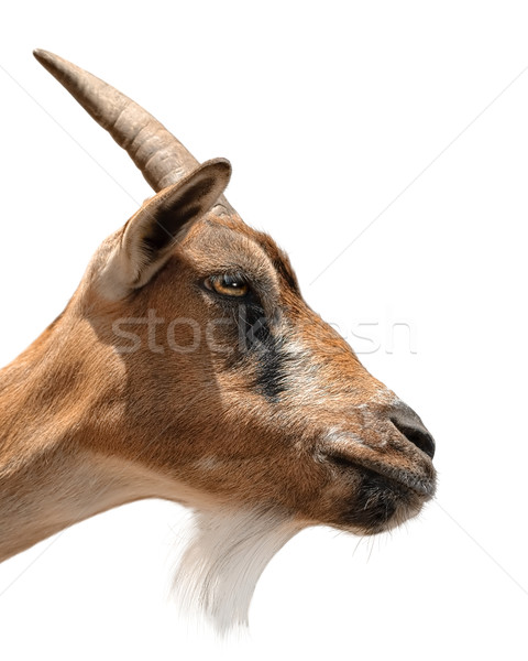 Goat's portrait on white Stock photo © Smileus
