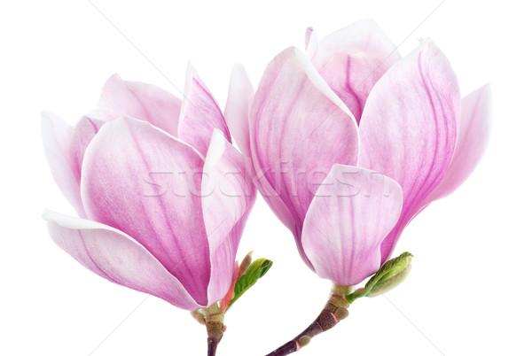Dwa magnolia kwiaty odizolowany biały jasne Zdjęcia stock © Smileus