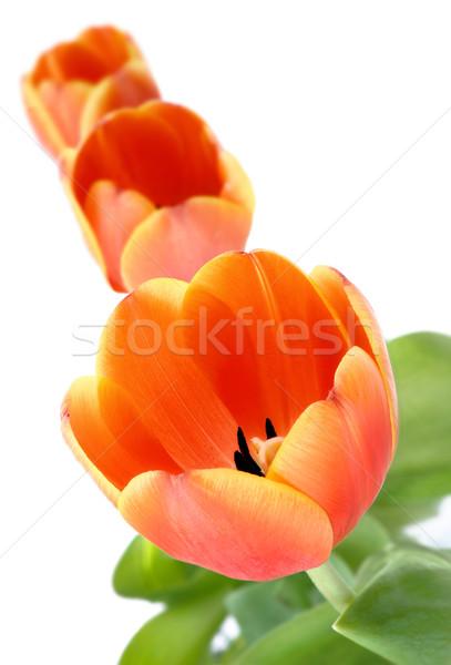 Tulipany rząd trzy otwarte pomarańczowy studio Zdjęcia stock © Smileus