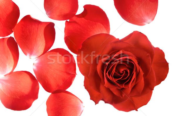 Egész rózsa különálló szirmok piros rózsa fehér Stock fotó © Smileus