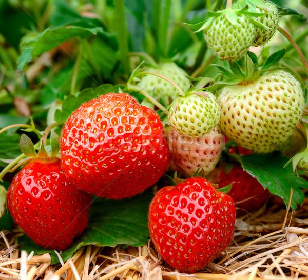 клубники растущий зрелый землю фрукты области Сток-фото © Smileus