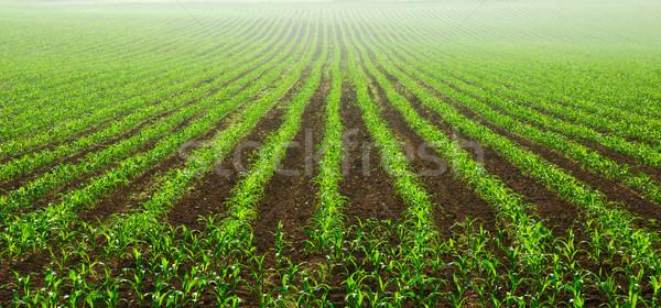 Jonge mais planten vochtig veld Stockfoto © Smileus