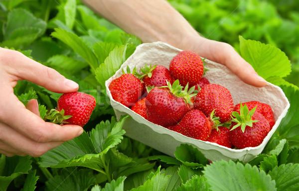 Harvesting perfect strawberries Stock photo © Smileus