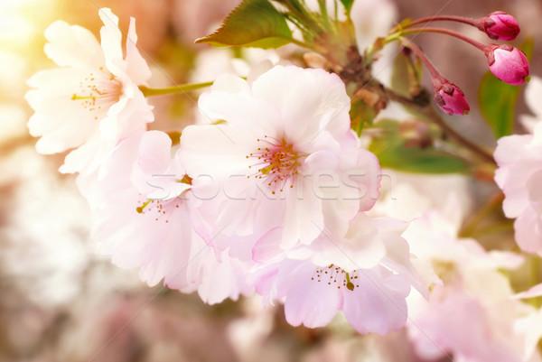 álomszerű tavasz virágok közelkép japán cseresznye Stock fotó © Smileus