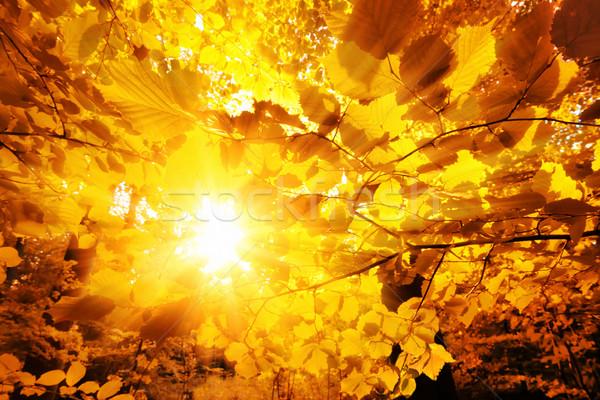 Sol brillante hojas de otoño brillante oro hojas Foto stock © Smileus