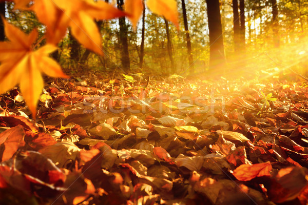 Sunlit forest ground in autumn Stock photo © Smileus