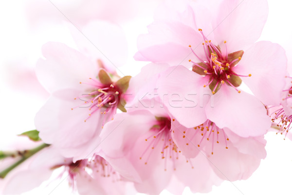 Dreamy cherry blossoms  Stock photo © Smileus