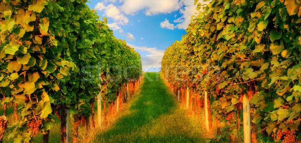 Winorośl ciepły światło słoneczne dwa Hill Zdjęcia stock © Smileus