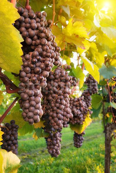 зрелый виноградник красный винограда винограда Сток-фото © Smileus