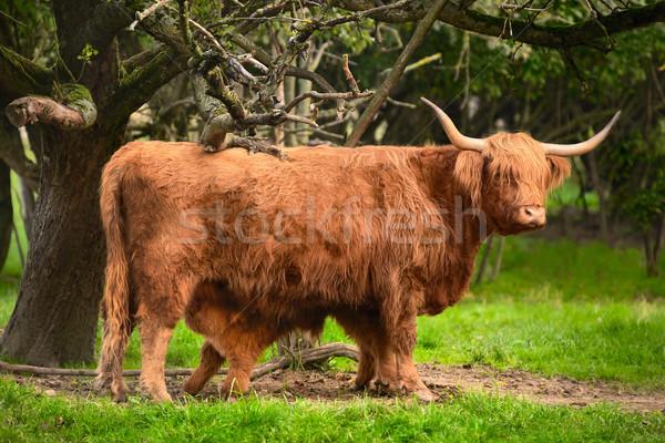 Highland cattle in idyllic farmland Stock photo © Smileus