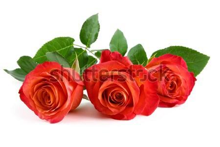 Stock photo: Three beautiful red roses on white