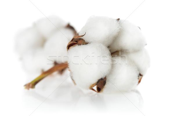Yalıtılmış pamuk bitkiler temizlemek Stok fotoğraf © Smileus