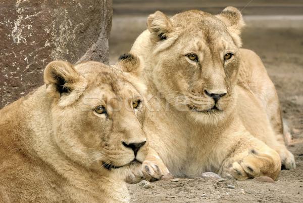 два оба острый Focus гордый лев Сток-фото © Smileus