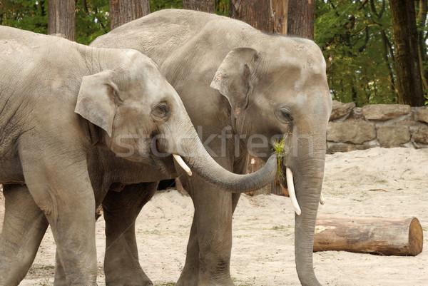 One elephant feeding the other Stock photo © Smileus