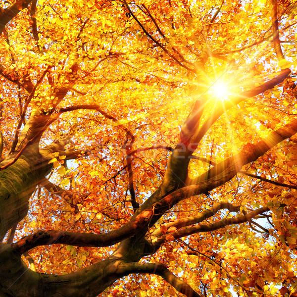 The autumn sun shining through gold leaves Stock photo © Smileus