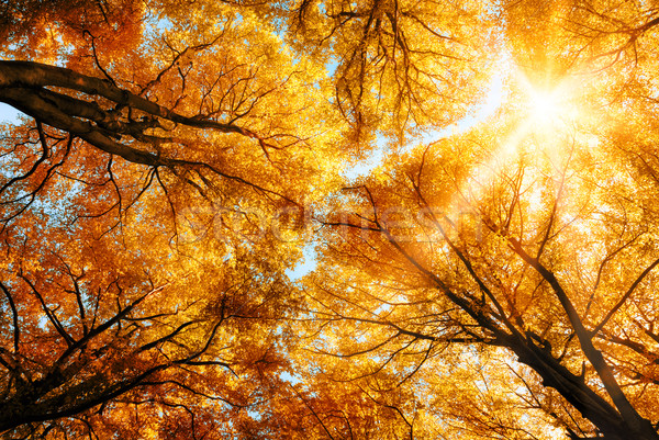 The autumn sun shining through golden treetops Stock photo © Smileus