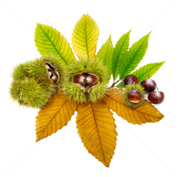 Fresh chestnuts on leaves, isolated Stock photo © Smileus
