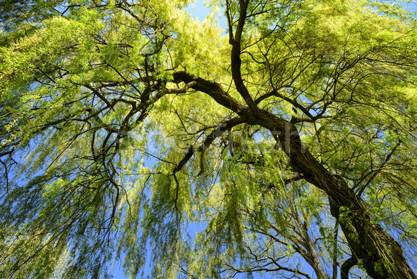 Weeping willow in spring Stock photo © Smileus