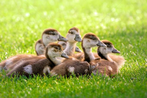 Sept pelucheux jeunes Canada oies séance Photo stock © Smileus