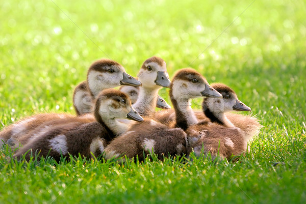 Seven fluffy goslings  Stock photo © Smileus