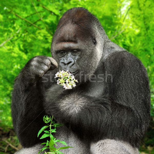 Gorilla observing a bunch of flowers Stock photo © Smileus