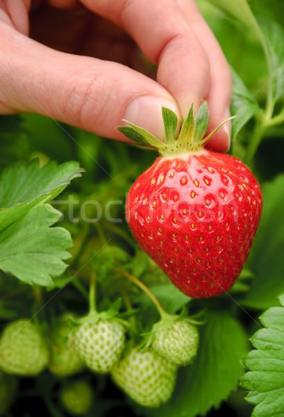 Perfect ripe strawberry being plucked Stock photo © Smileus