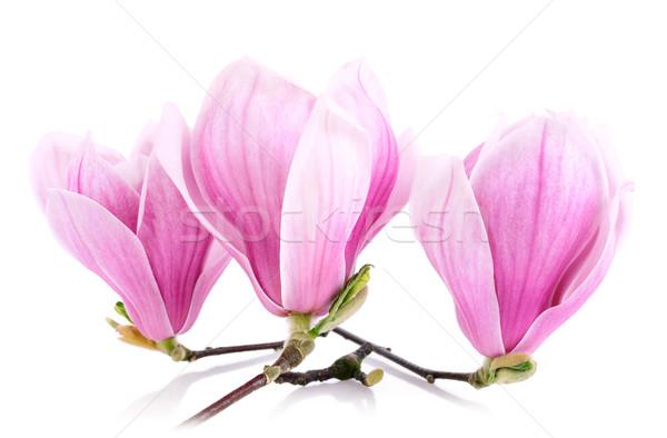 Three magnolia blossoms isolated on white Stock photo © Smileus