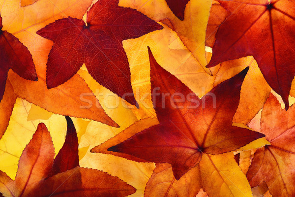 Illuminated autumn leaves with glowing colours Stock photo © Smileus