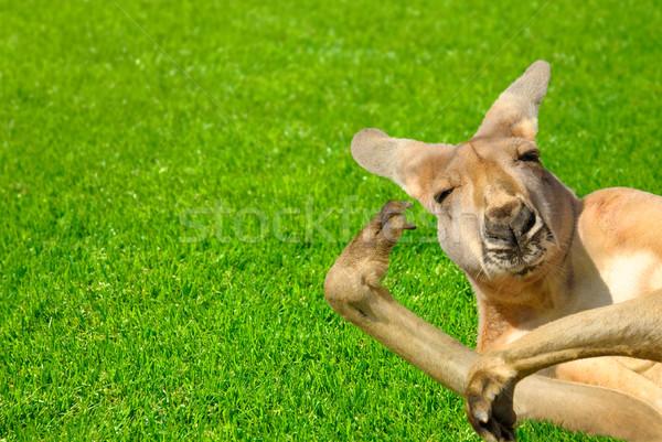 Funny human looking kangaroo on a lawn Stock photo © Smileus