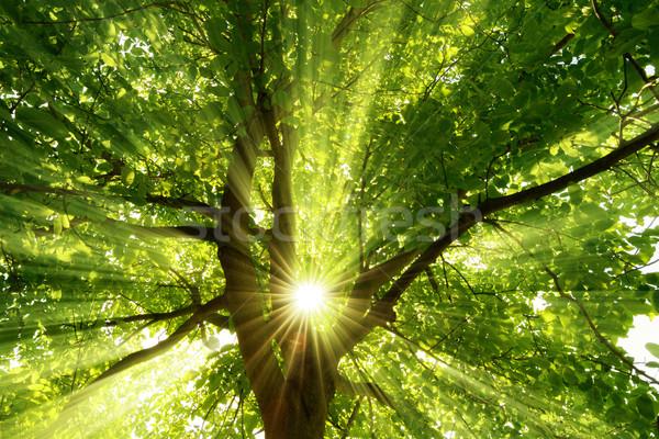 Sunrays dramatically falling through a tree Stock photo © Smileus