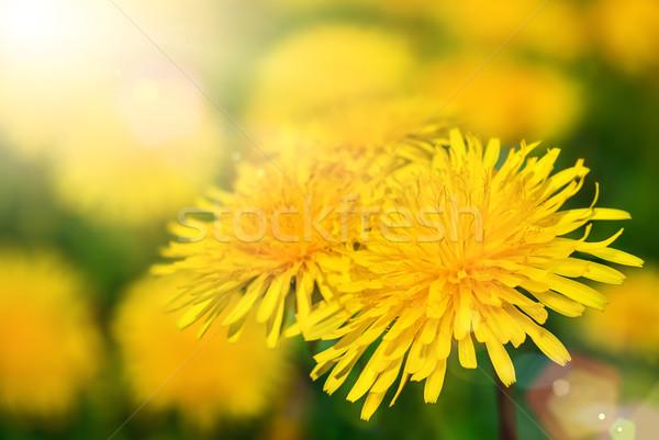 Dandelion blossoms in warm sunlight Stock photo © Smileus