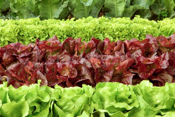 Rows of fresh lettuce on a field Stock photo © Smileus
