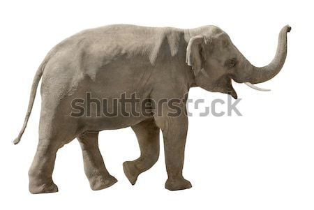 Elefant izolat alb asiatic mers Imagine de stoc © Smileus