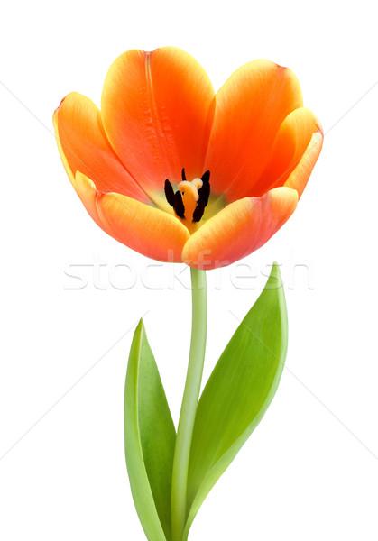 Fully blossomed tulip Stock photo © Smileus
