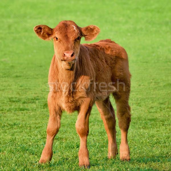 Happy calf on a meadow Stock photo © Smileus