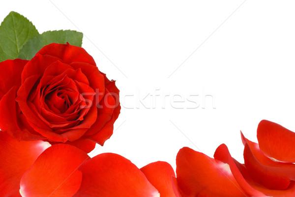 красную розу лепестков границе белый копия пространства закрывается Сток-фото © Smileus